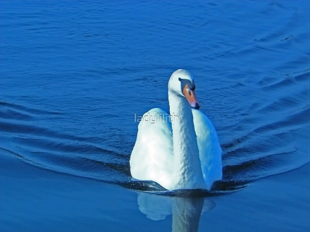 Swan swimming by ladylilith