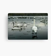 Trumpeter Swans of Heber Springs, AR - 1 Canvas Print