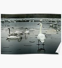 Trumpeter Swans of Heber Springs, AR - 1 Poster