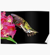 August male ruby throated hummingbird Poster