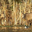 Deer and Ducks by Alan Forder