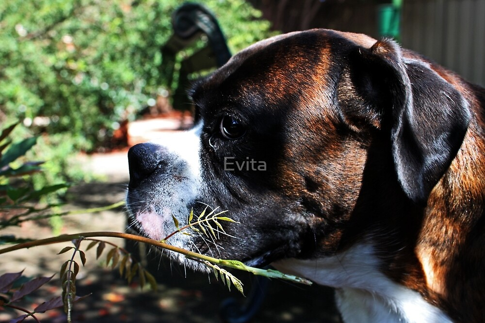 If I Hide Here... Perhaps She Won't See Me... -Boxer Dogs Series- by Evita