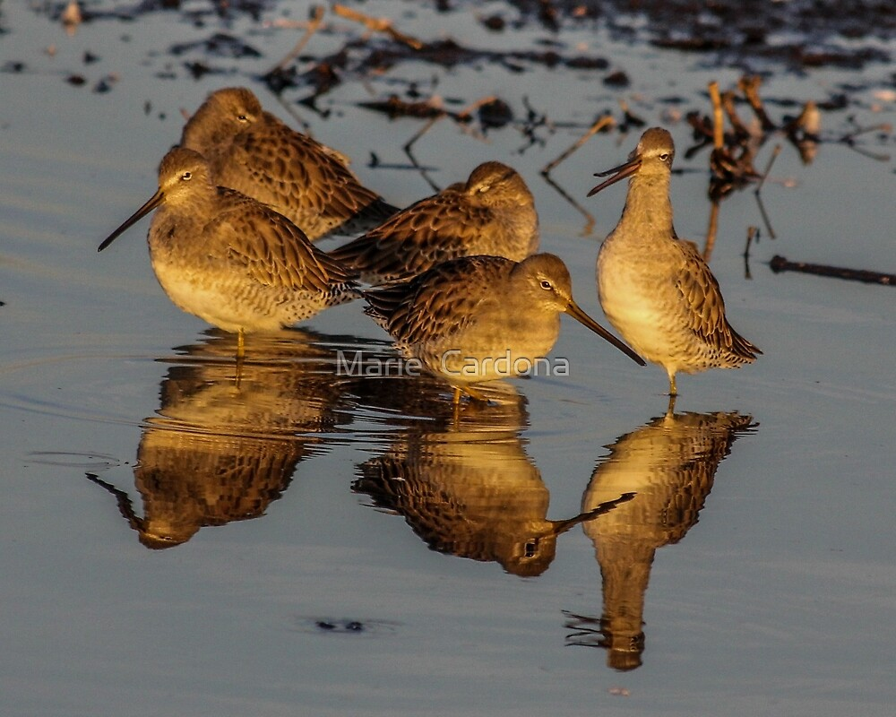 Dowitchers  by Marie  Cardona