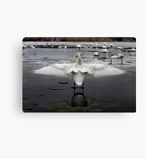 Trumpeter Swans of Heber Springs, AR - 2 Canvas Print