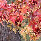 Liquid Amber Leaves by Patty Boyte