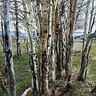 Birch of Many Colors by kayzsqrlz