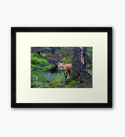 Red Fox - Algonquin Park, Canada Framed Print