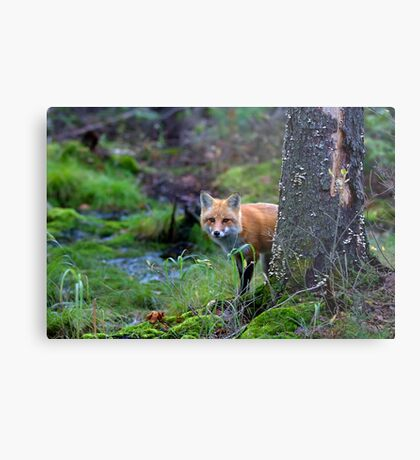 Red Fox - Algonquin Park, Canada Metal Print