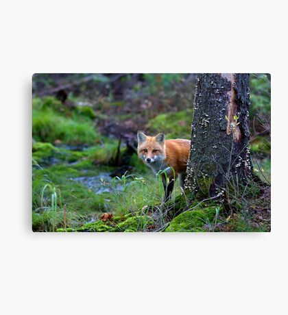 Red Fox - Algonquin Park, Canada Canvas Print