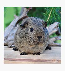 Cute Little Guinea Pig Photographic Print
