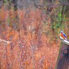Eastern Bluebird along the Delaware by M-EK
