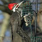 Pileated Woodpecker  by RichImage