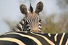 Plains Zebra Portrait, Akagera National Park, Rwanda, by Carole-Anne Fooks by Carole-Anne