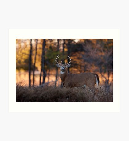 A big 7 pointer - White-tailed Deer Art Print