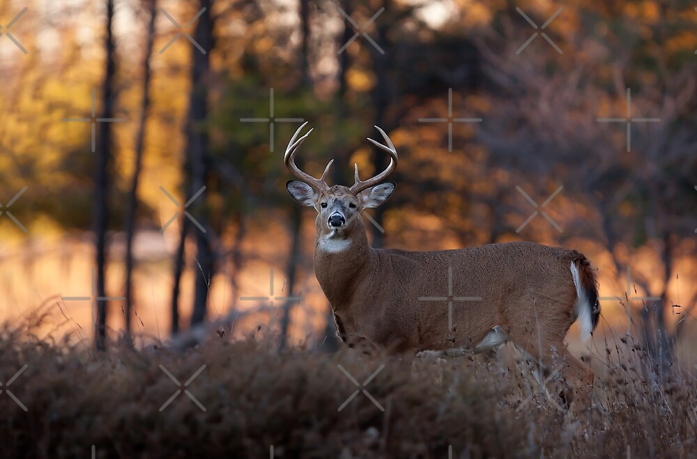 A big 7 pointer - White-tailed Deer by Jim Cumming