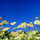 Lovely Yellow Cosmos Clear Blue Sky Flower Field by Beverly Claire Kaiya