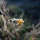Late, late flowering by Themis