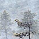 12.1.2017: Pine Tree in Blizzard II by Petri Volanen