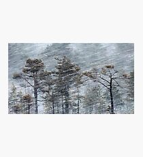 12.1.2017: Pine Trees in Blizzard Photographic Print