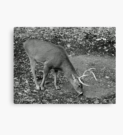 White-Tailed Deer - Buck - Odocoileus virginianus Canvas Print