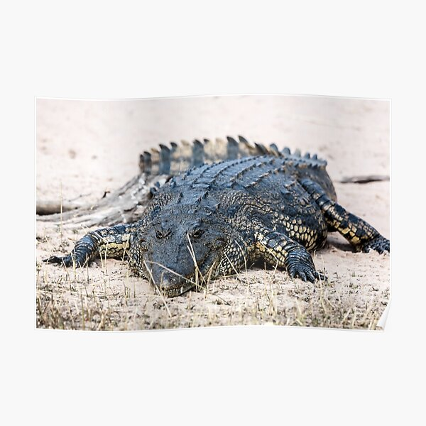 Crocodile lining in the bush, game reserve Botswana Poster