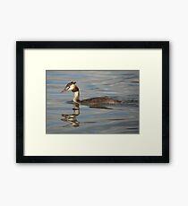 Great Crested Grebe Framed Print