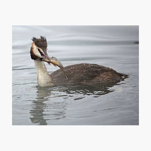 Great Crested Grebe with Perch Photographic Print