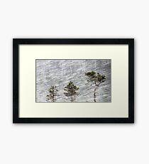 12.1.2017: Pine Trees in Blizzard II Framed Print