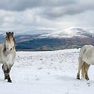 Welsh mountain ponies by Stephen Liptrot