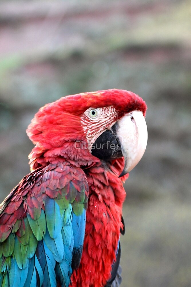 Green Winged Macaw by Citisurfer