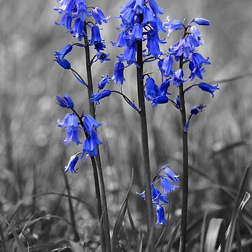 Bluebells by anthonyhedger