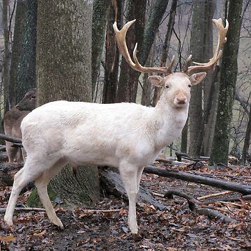 White Fallow Deer (Leucistic) by GinnyY
