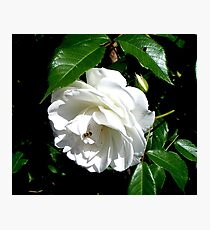 The timeless beauty of a white rose Photographic Print