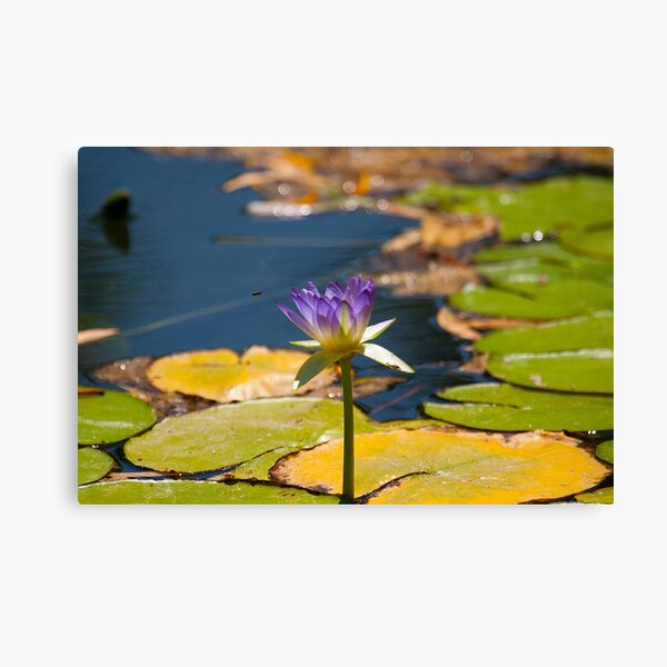 Water Lily at Adels Grove Canvas Print