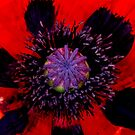 Poppy Heart 3 by Chris Thaxter