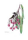 Australian New Holland Honeyeater on Pink Flowering Gum by Meaghan Roberts