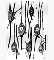 Neural Connections Illustrated by Cajal, 1923  Poster