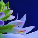 hosta n blue by ANNABEL   S. ALENTON