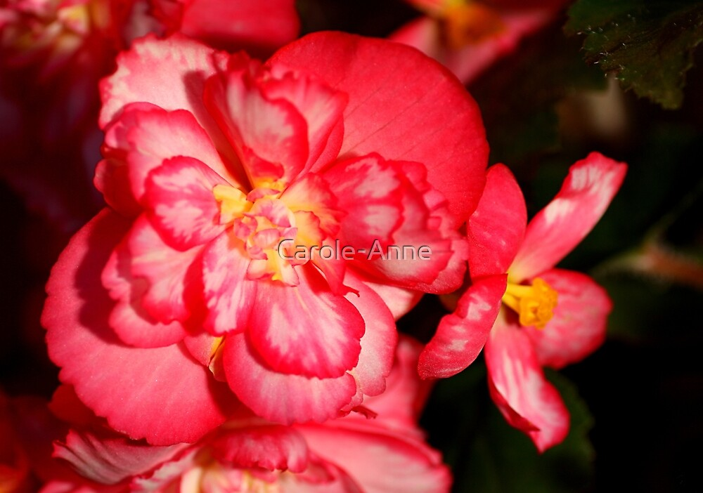Red Begonia Flower #3 by Carole-Anne