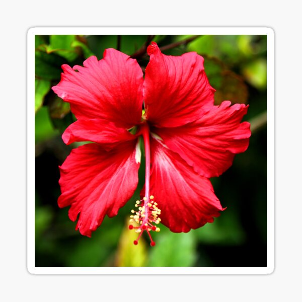 Hibiscus in Red #1 Sticker