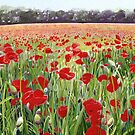 Poppies - Poppy Fields Painting used for Remembrance Day Song  by Poppy-Art