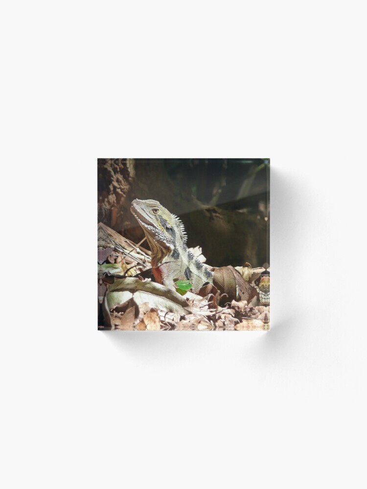Alternate view of Forest Lizard on the Gold Coast, Queensland. Acrylic Block