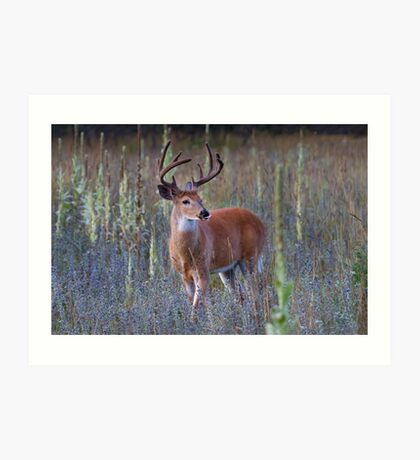 Early Morning White tailed Buck Art Print