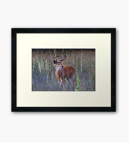 Early Morning White tailed Buck Framed Print