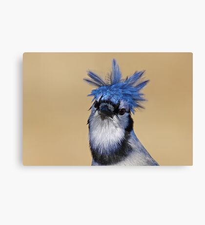 Is that you Don King? - Blue Jay Canvas Print