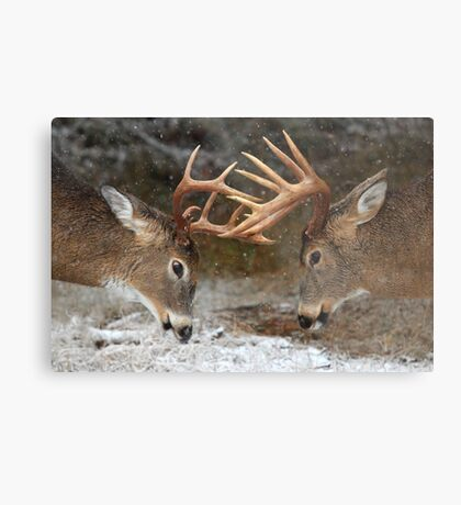 Clash of the Titans - White-tailed deer Metal Print