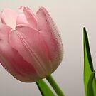 Tulip by karina5
