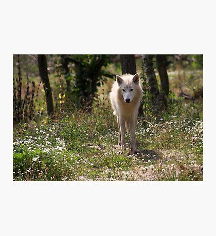 Hudson Bay Wolf Photographic Print