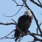 Bald eagle by klziegler