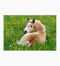 Haflinger Horse Cute Foal Resting in a Flowerbed Photographic Print